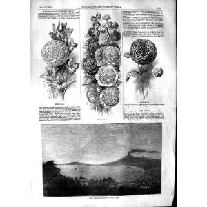 1853 Comet Castellamare Bay Naples Flowers Hollyhock